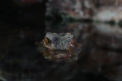 看起来黑暗的背景的大鳄鱼 免版税库存照片