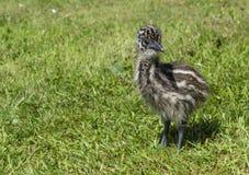 看起来年轻鸸的小鸡逗人喜爱在草 库存照片