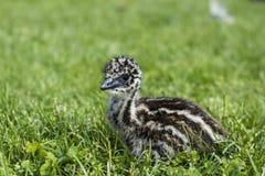 看起来年轻鸸的小鸡逗人喜爱在草 免版税图库摄影