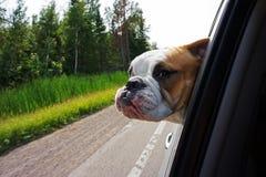 看车窗的牛头犬 免版税库存照片