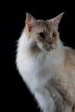 看边的布朗白色猫 库存照片