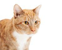 看边的特写镜头橙色猫 免版税库存图片