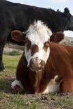 看这里母牛 免版税图库摄影