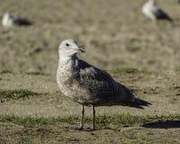 看远离在海滩的照相机的幼小海鸥 免版税库存图片