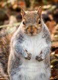 看逗人喜爱的小的灰鼠  免版税库存图片