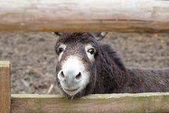 看通过在操刀畜栏的篱芭的空白的动物驴 库存照片