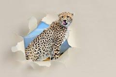 看通过孔的猎豹被撕毁本文 免版税图库摄影