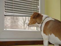 看通过窗口的杰克罗素狗 库存照片
