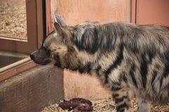 看通过窗口的鬣狗 库存图片