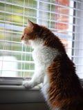 看通过窗口的黄色和白色西伯利亚猫 图库摄影