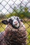 看通过篱芭的小的绵羊 免版税库存图片