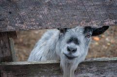 看通过篱芭的微笑的灰色山羊 免版税库存照片
