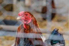 看通过篱芭面孔特写镜头画象的雄鸡  库存图片