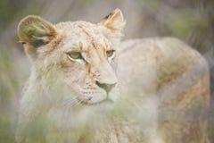 看通过草的狮子 库存照片