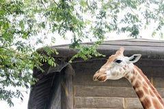 看通过高木篱芭的长颈鹿悉尼动物园 图库摄影