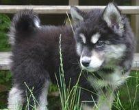 看通过高草的蓬松和毛茸的Alusky小狗 库存照片
