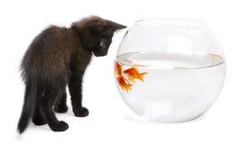 看金鱼,鲫属Auratus的黑小猫 库存图片