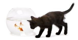 看金鱼,鲫属Auratus的黑小猫 图库摄影