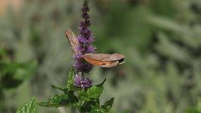 看门人蝴蝶、pyronia tithonus、成人哺养在Buddleja的或夏天丁香,诺曼底在法国, 股票视频