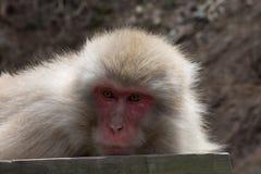 看雪的猴子左 免版税库存图片