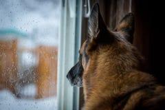 看露台门的德国牧羊犬积雪的后院 免版税图库摄影