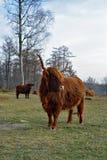 看高地的母牛  免版税库存照片