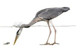 看鱼的一只灰色苍鹭的侧视图,在水下 免版税图库摄影