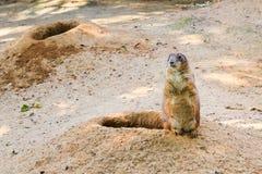 看黑被盯梢的草原土拨鼠草原犬鼠的ludovicianus站立在他的沙子的洞穴附近和  免版税库存图片