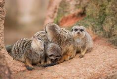 看:注意meerkats 免版税库存图片