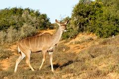 看-更加伟大的Kudu -非洲羚羊类弯角羚类 库存图片