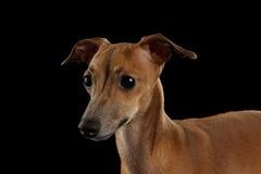 看今后被隔绝的黑色的特写镜头画象逗人喜爱的意大利灵狮狗 库存照片