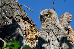 看从它的巢的可爱的幼小猫头鹰之子 免版税图库摄影
