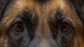 看直接地照相机的德国牧羊犬特写镜头 图库摄影