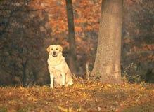 看直接照相机的美丽的狗 库存图片