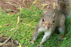 看直接观察者的好奇灰鼠 免版税库存照片