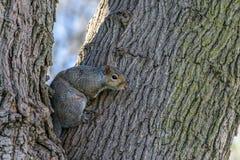 看从树干的灰鼠 库存照片