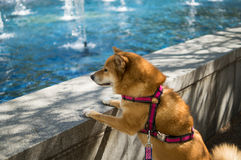 看水池的狗 免版税库存照片