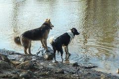 看水的两条狗 库存图片