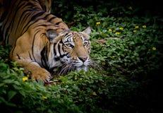 看他的牺牲者的老虎和准备捉住它 免版税库存图片