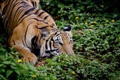 看他的牺牲者的老虎和准备捉住它 免版税库存照片
