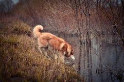 看水的红色西伯利亚爱斯基摩人狗溪在春天草甸 免版税库存照片