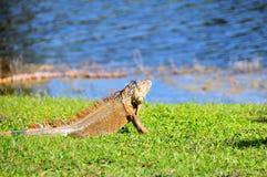 看水的鬣鳞蜥 库存照片