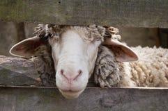 看绵羊 库存照片