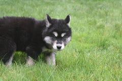 看Alusky的小狗,如他当场了捉住 库存照片