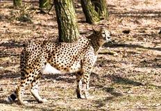 看aroung的猎豹 免版税图库摄影