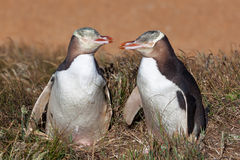 看eachother的两只黄色被注视的企鹅 图库摄影