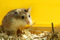看Roborovski仓鼠逗人喜爱的宠物-黄色背景 免版税图库摄影