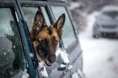 看SUV的侧面窗的德国牧羊犬狗 免版税库存照片