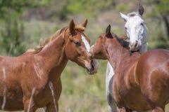 真实的爱在乡下,马和他的母马表现出对他们的驹的所有他们的爱 免版税库存图片