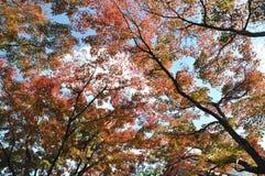 真实的红色秋叶树 免版税库存图片